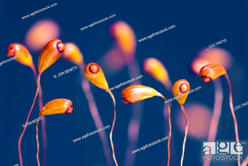 Stock Photo: Young sporophytes of moss. Gorbeia Natural Park, Euskadi, Spain.