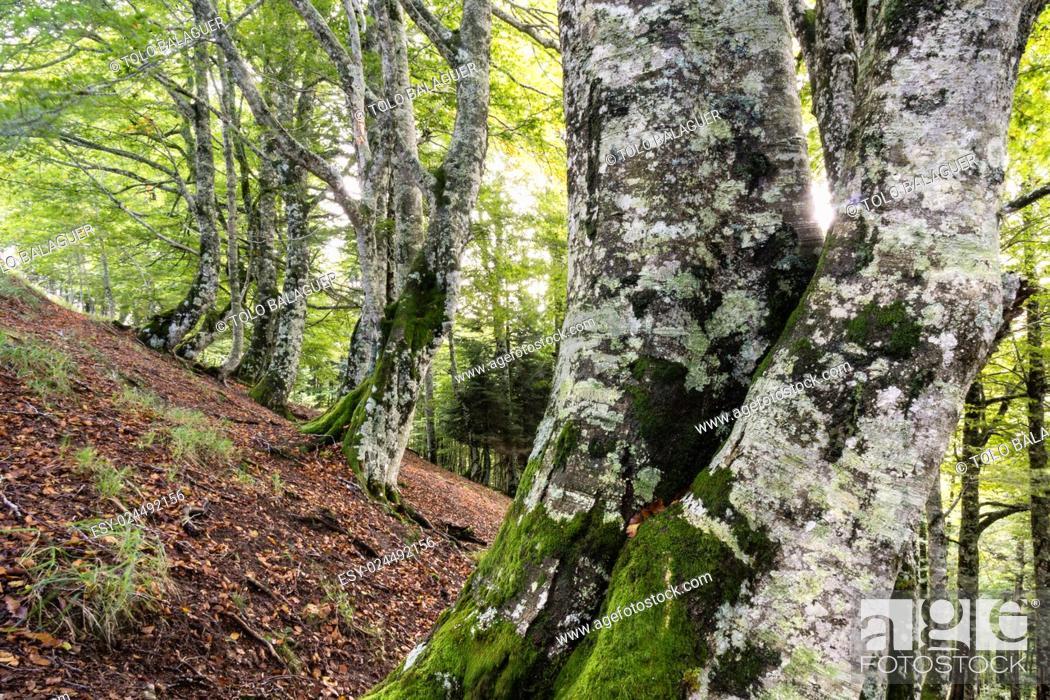 Stock Photo: Lizardoia Integral Nature Reserve, Irati Forest, Navarra, Spain.