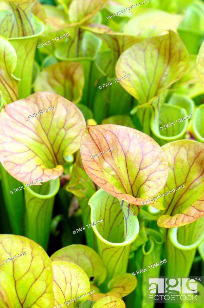 Imagen: Pitcher plant, Sarracenia, Close up showing open tubes.