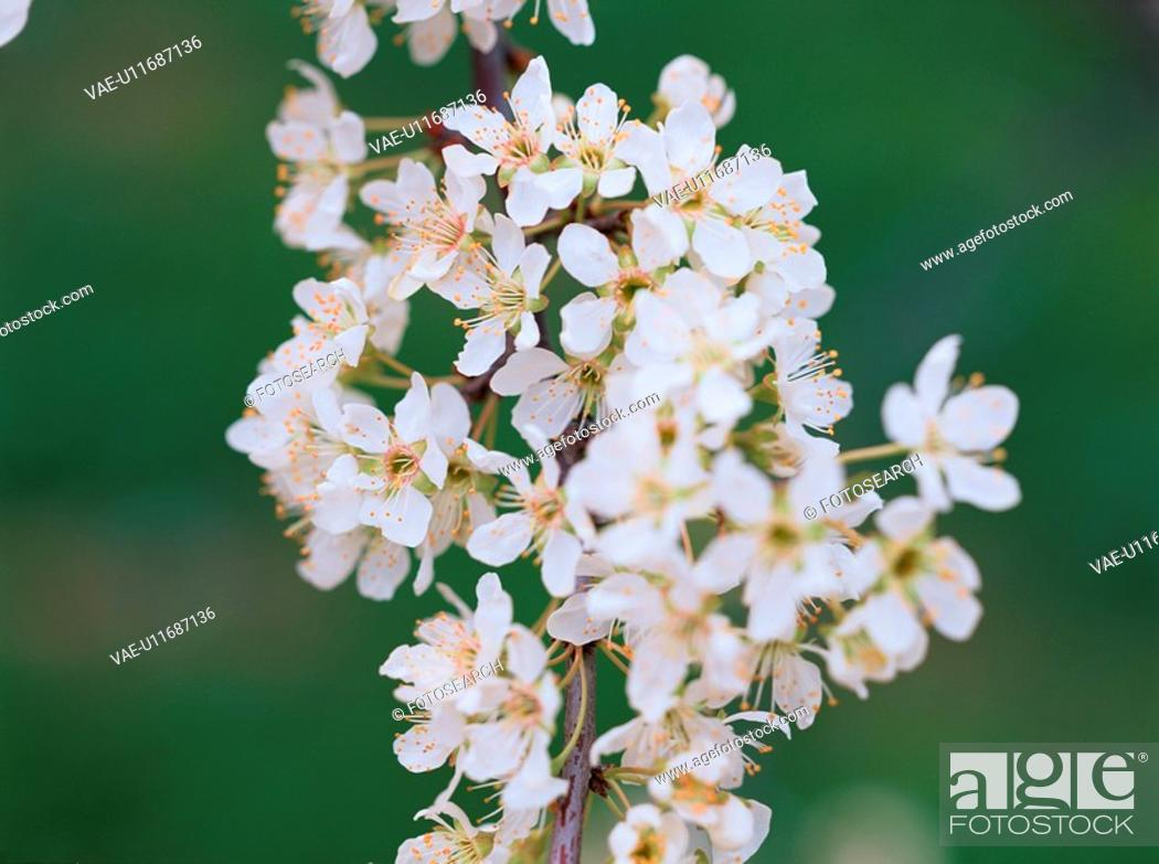 Stock Photo: Branch Of Plum Blossoms.