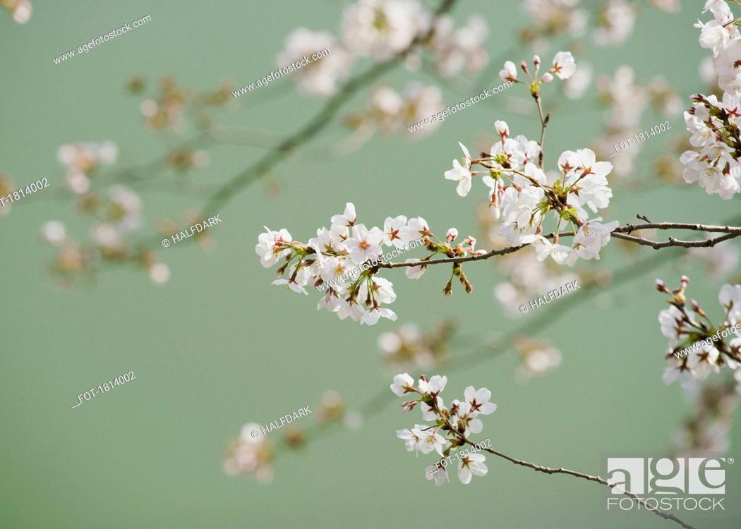 Stock Photo: Close up delicate pink cherry blossoms on branch.