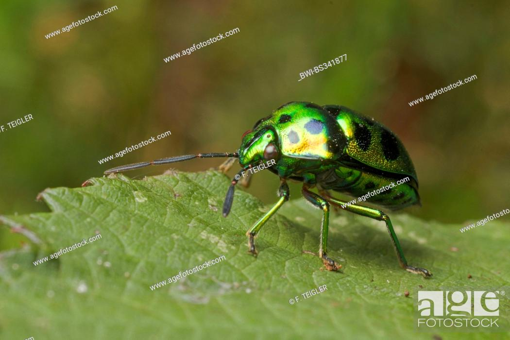Stock Photo: bug (Chrysocoris purpureus), sitting on a leaf, Germany.