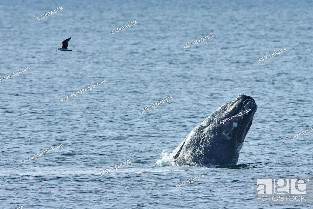 Stock Photo: Southern Right Whale.