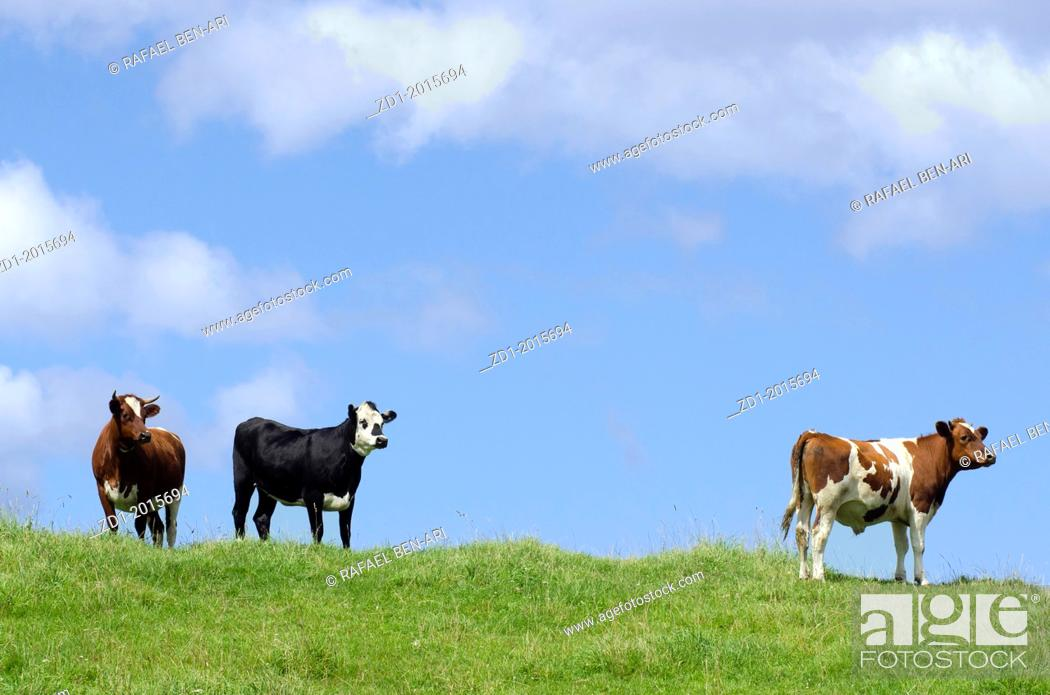 Stock Photo: Two brown and one black and white milk cows in a pasture with lush green grass.