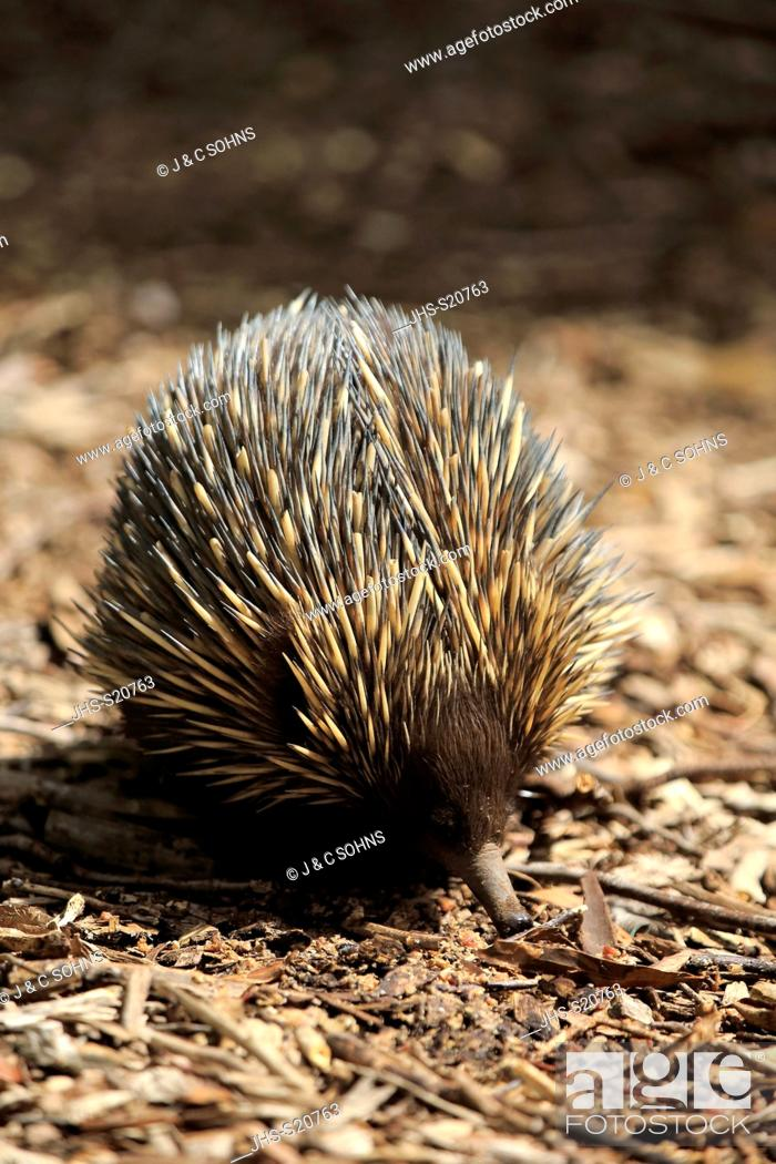 Stock Photo: Short-beaked Echidna, (Tachyglossus aculeatus), adult searching for food, Mount Lofty, South Australia, Australia.