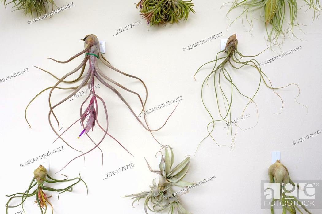 Stock Photo: Group of plants of the genus Tilandsia hanging on a wall. Barcelona. Catalonia. Spain.