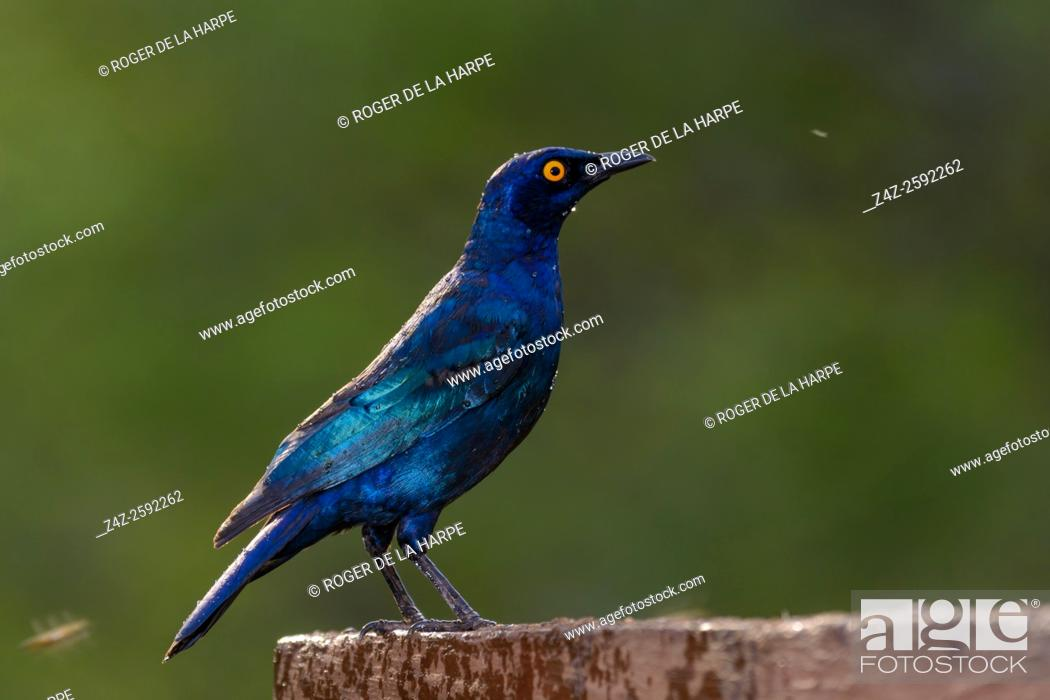 Imagen: Cape starling, red-shouldered glossy-starling or Cape glossy starling (Lamprotornis nitens). Zimanga Private Game Reserve, Mkuze Estate. KwaZulu Natal.