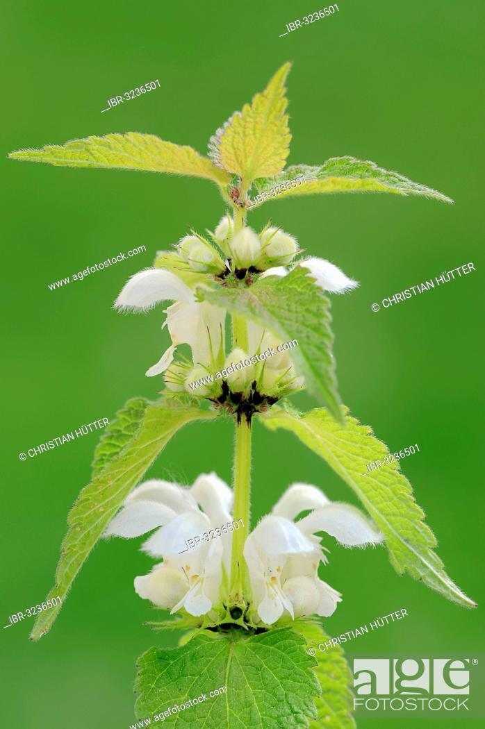 Stock Photo: White nettle or white dead-nettle (Lamium album), stem with flowers.