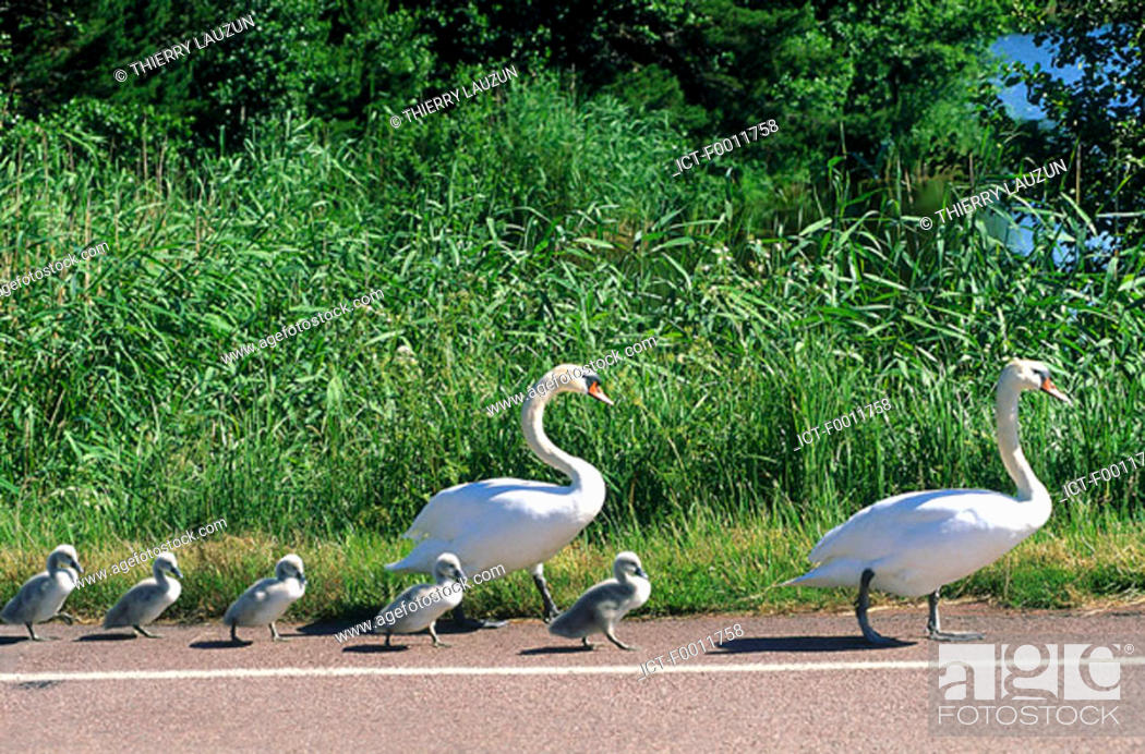 Stock Photo: Finland, Ecker÷, family of swans.