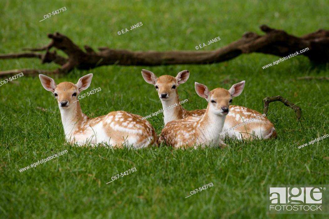Stock Photo: Fallow Deers (Cervus dama). Three Fawns.