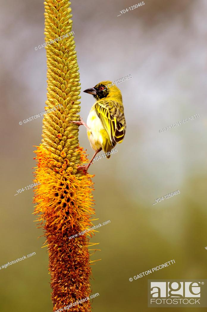 Stock Photo: Lasser masked weaver Ploceus intermedius, on the Lebombo aloe Aloe sessiliflora, Kruger National Park, South Africa.
