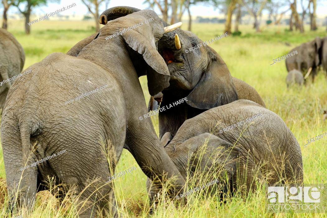 Imagen: African bush elephant (Loxodonta africana) interacting. Serengeti National Park. Tanzania.