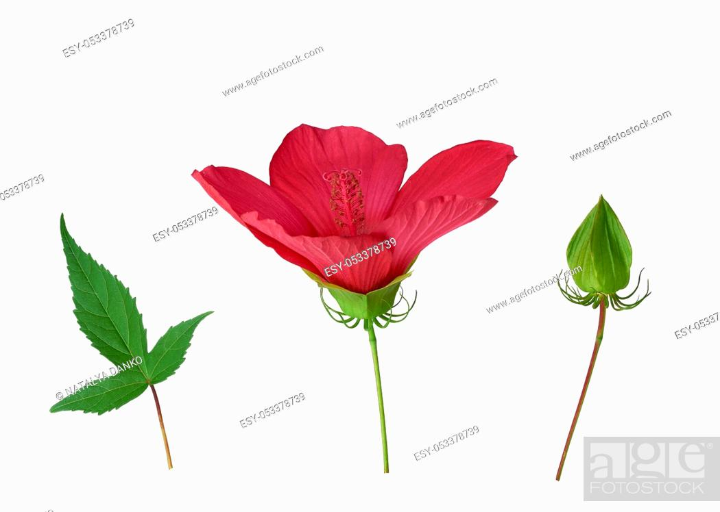 Stock Photo: set of red blooming hibiscus bud, green leaf and unblown box isolated on a white background, close up.