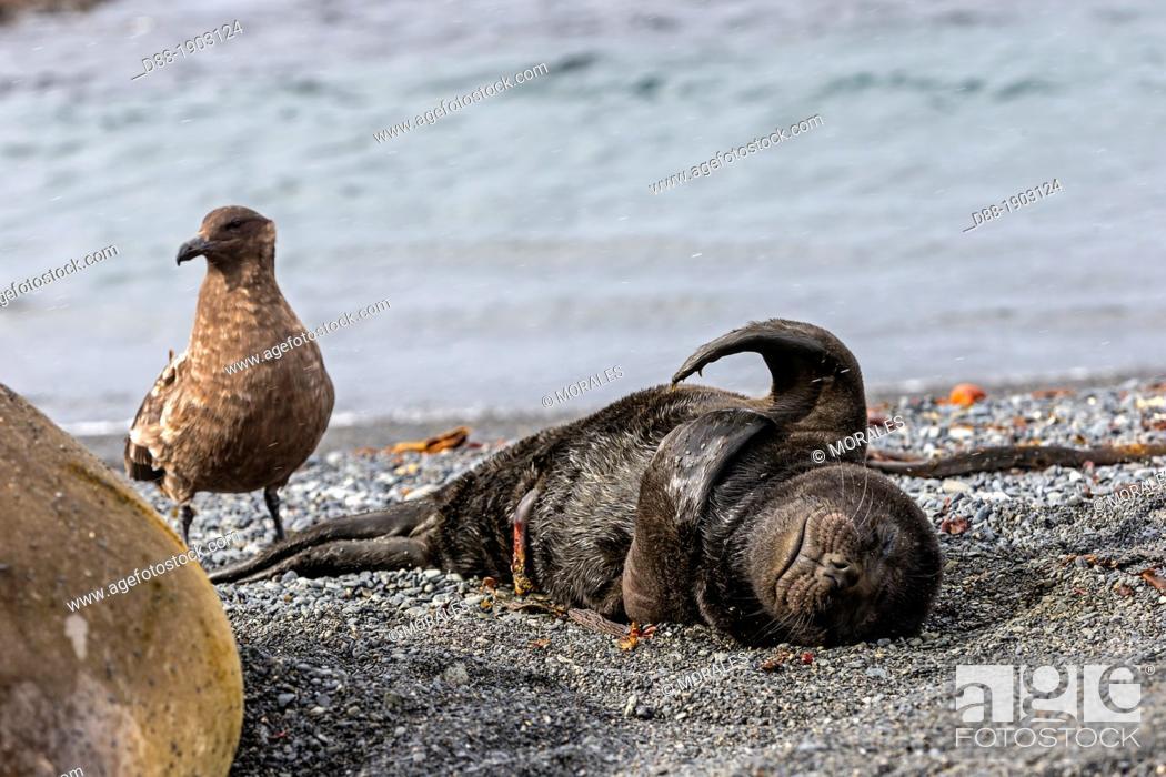 Stock Photo: United Kingdom, South Georgia Islands, Prion island, Southern Elephant Seal Mirounga leonina, new born baby, a skua is attaking the ombilical.