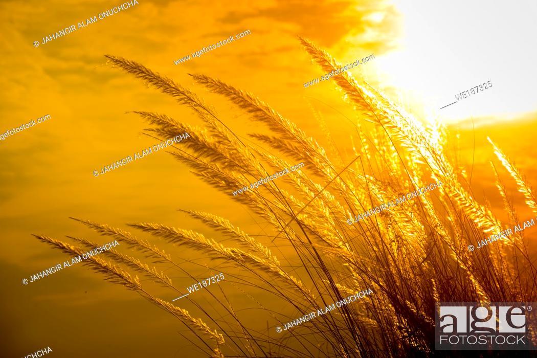 Stock Photo: Catkin flowers, Kans grass (Saccharum spontaneum) or Kashful (in bengali) with beautiful Golden Sunset at Chandpur, Bangladesh.