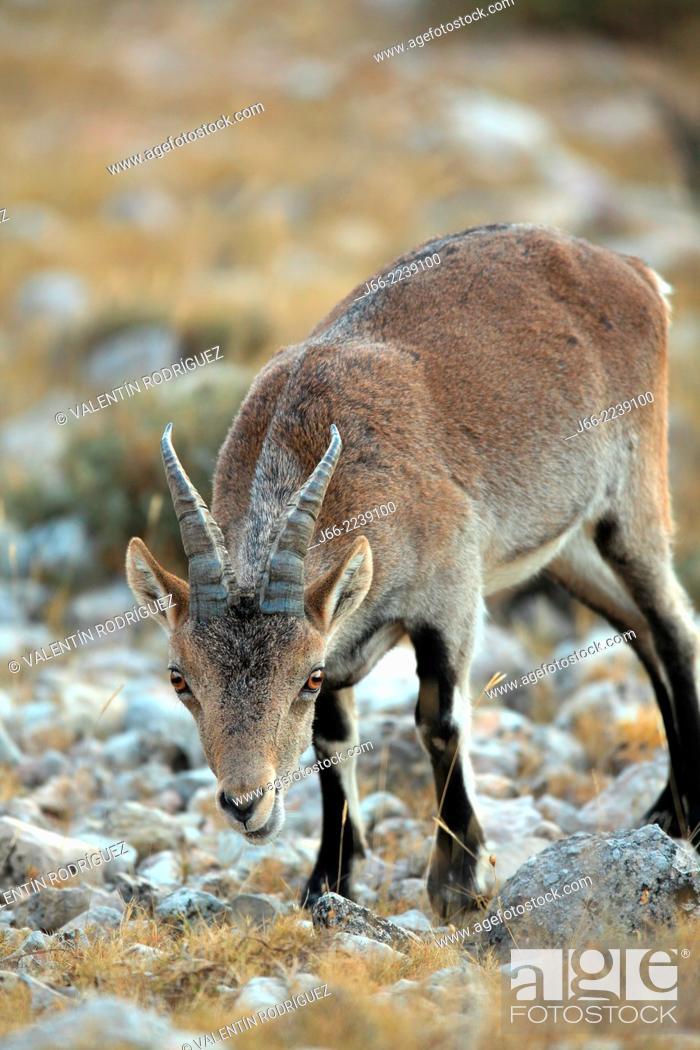 Stock Photo: ibex (Capra pyrenaica), young male feed. Natural Park Els Ports, Horta de San Joan. Tarragona.