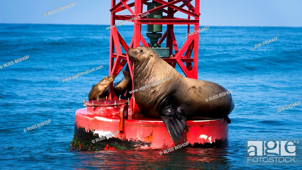 Stock Photo: Steller sea lion (Eumetopias jubatus) on harbor buoy, Ventura, California USA.