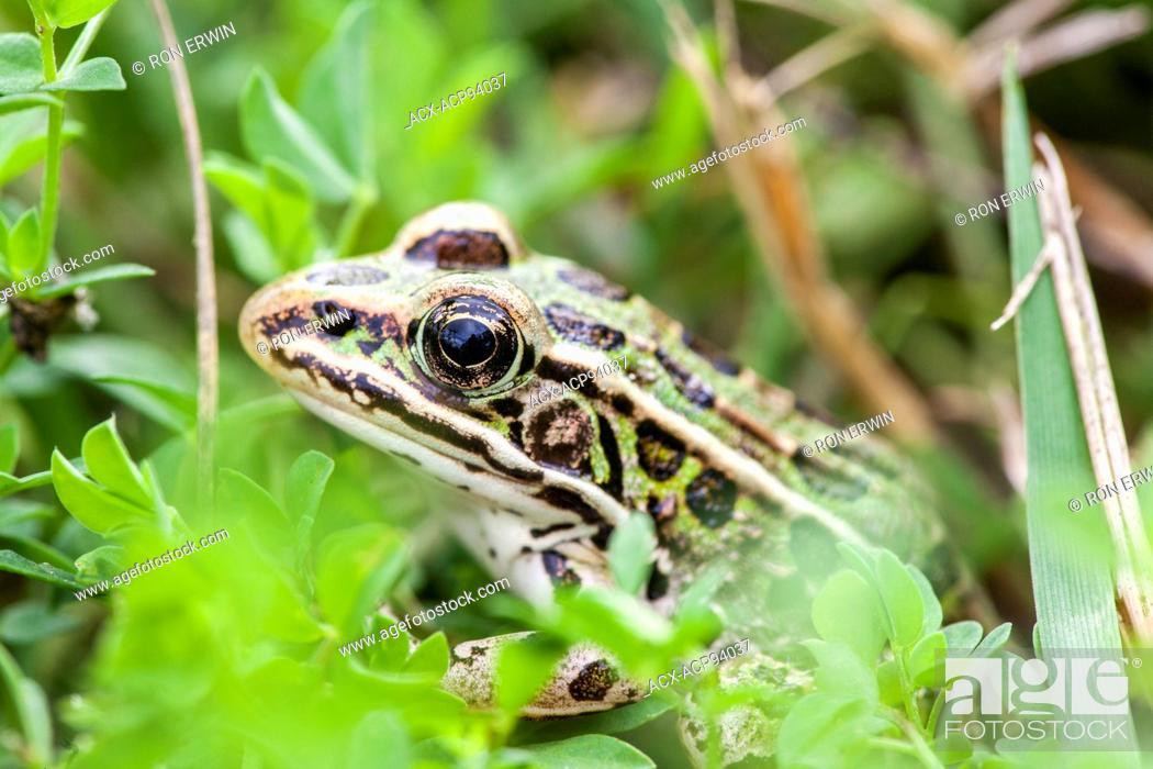 Stock Photo: Northern Leopard Frog (Rana pipiens), Manitoulin Island, Ontario.