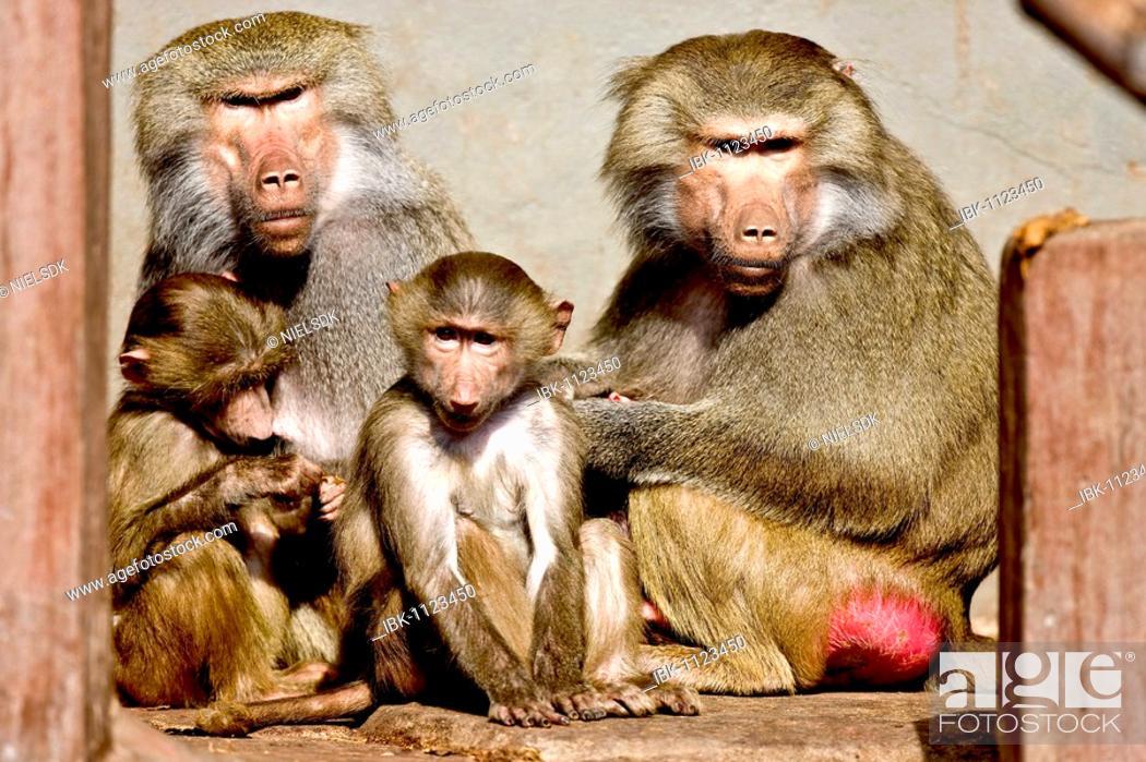 Stock Photo: Baboon family (Papio hamadryas).