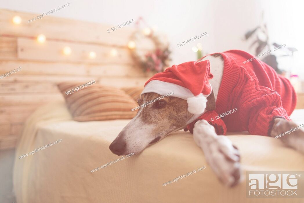 Imagen: Greyhound lying on bed wearing red pullover and Santa hat.