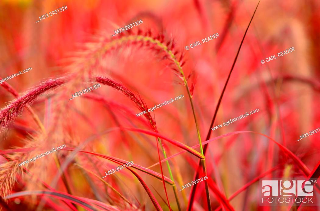 Stock Photo: Ornamental red grass in a garden, Pennsylvania, USA.