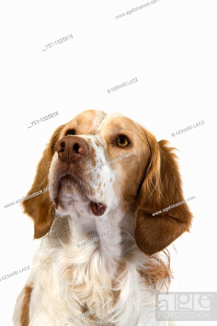Stock Photo: FRENCH SPANIEL DOGCINNAMON COLOR, PORTRAIT OF MALE.