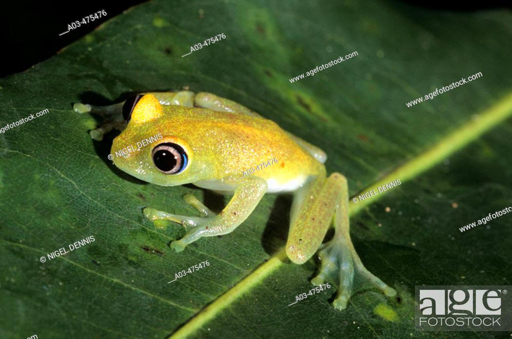 Stock Photo: Madagascar Tree Frog, Boophis leuteus, Perinet Rainforest Reserve, Madagascar.