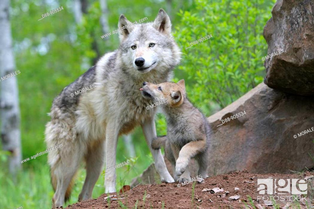 Stock Photo: Wolf (Canis lupus). Minnesota, USA.