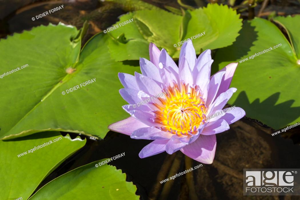 Lotus flower in the pond surrounding the art science museum of stock photo lotus flower in the pond surrounding the art science museum of singapore marina bay singapore mightylinksfo