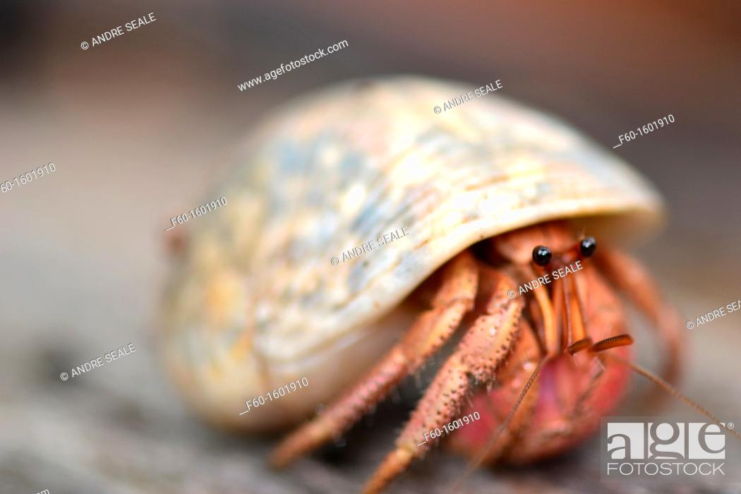Stock Photo: Hermit crab, Pohnpei, Federated States of Micronesia.