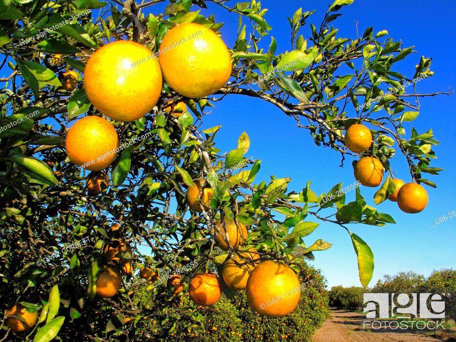Stock Photo: florida usa oranges.