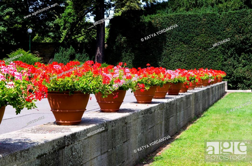 Stock Photo: A row of flowerpots with red flowers.