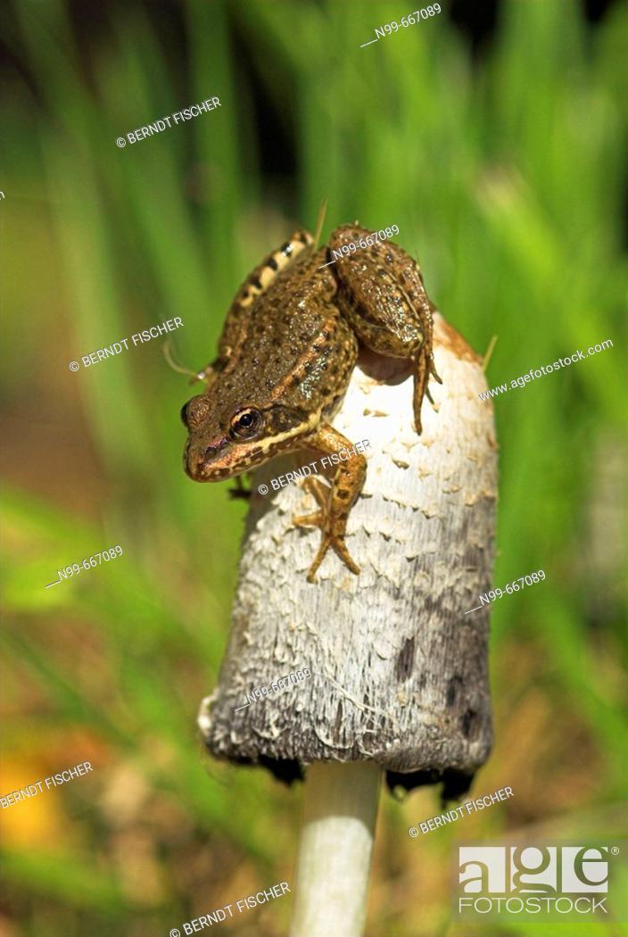 Stock Photo: Common frog (Rana temporaria), sitiing on top of  Ink cap (Coprinus sp.), autumn, Franconia, Bavaria.