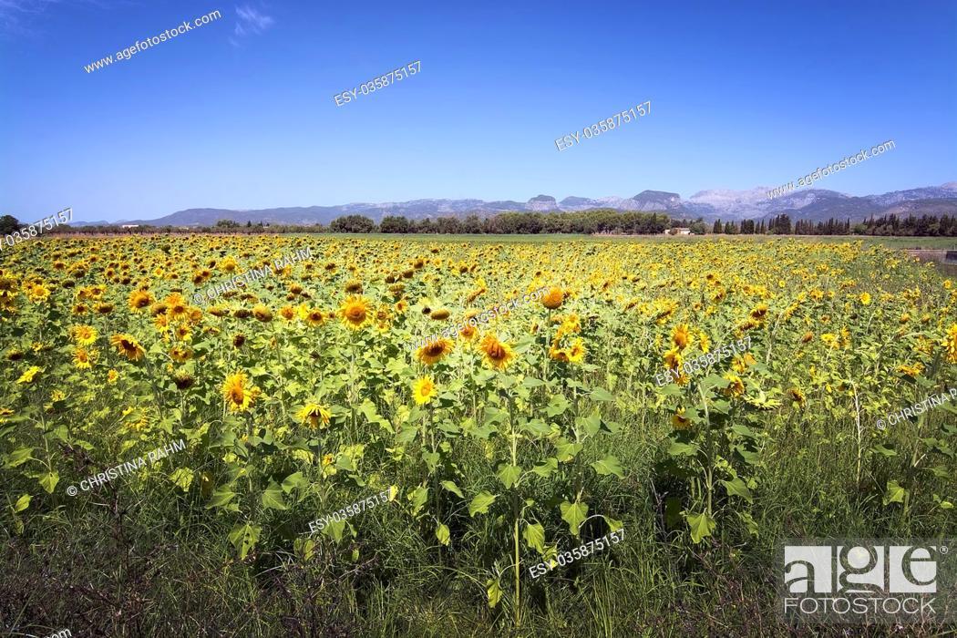 Stock Photo: Sunflower field, Helianthuus anuum, in Mallorca, Balearic islands, Spain.
