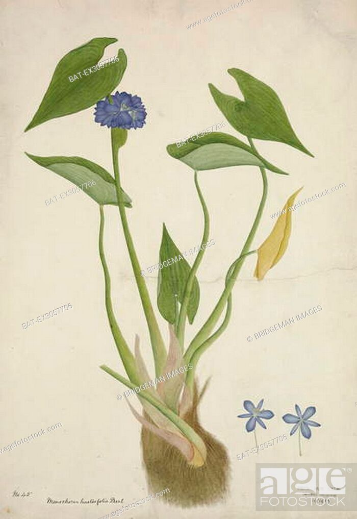 Stock Photo: Monochoria Hastaefolia Presl, 1800-10 (w/c on paper), Indian School, (19th century) / Royal Albert Memorial Museum, Exeter, Devon, UK / Bridgeman Images.