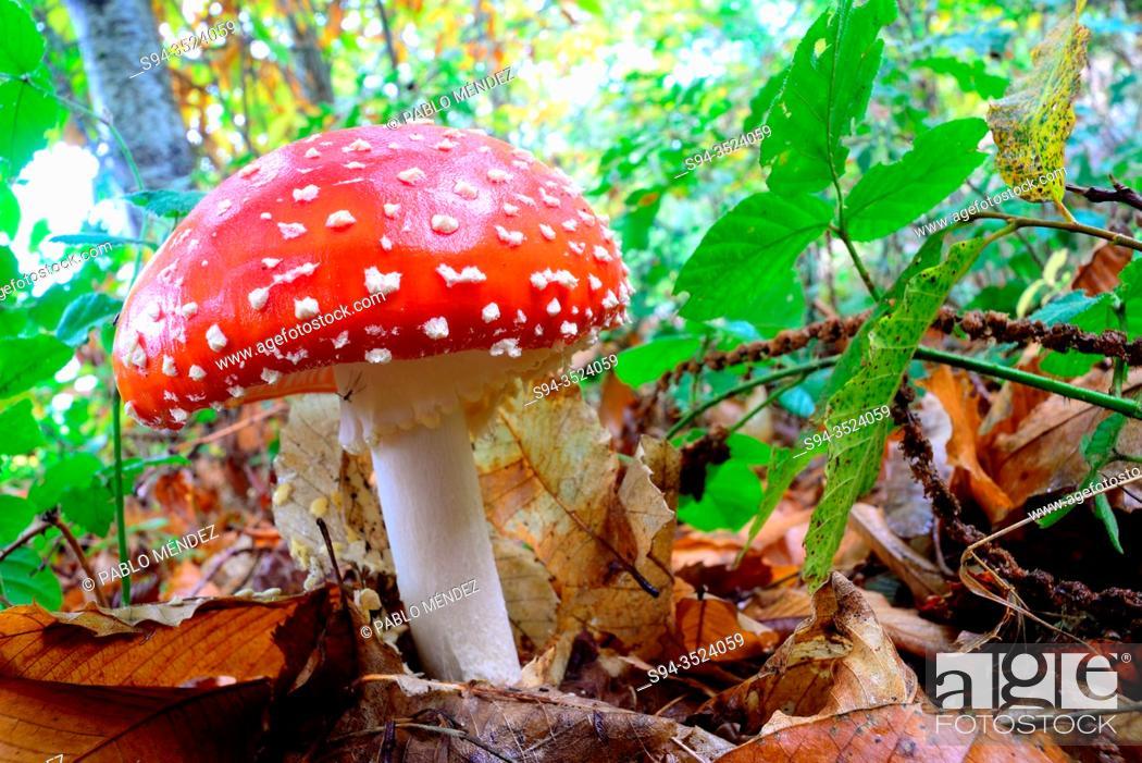 Stock Photo: Red mushrooms (Amanita muscaria) in a wood of Ancares, Pereda de Ancares, Leon, Spain.
