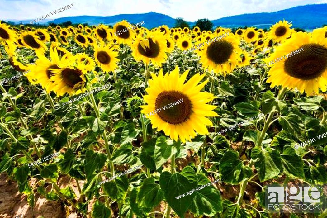 Stock Photo: sunflower on slope Vosges Mountains.