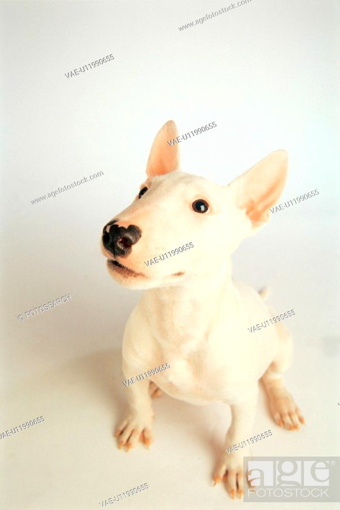 Stock Photo: domestic dog, 35mm, canine, domestic animal, BullTerrier, pet, film.