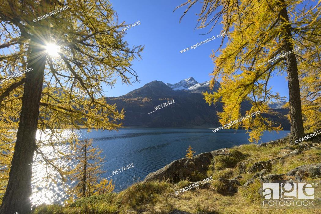 Stock Photo: Lake Silsersee with colorful larch trees and sun in autumn, Lake Silsersee, Sils im Engadin, Engadin, Grisons, Switzerland, European Alps.