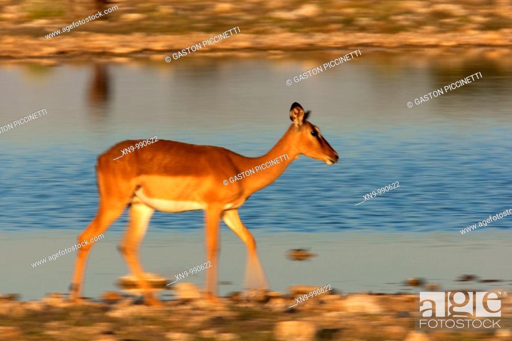 Imagen: Black-faced impala Aepyceros melampus , Etosha National Park, Namibia.