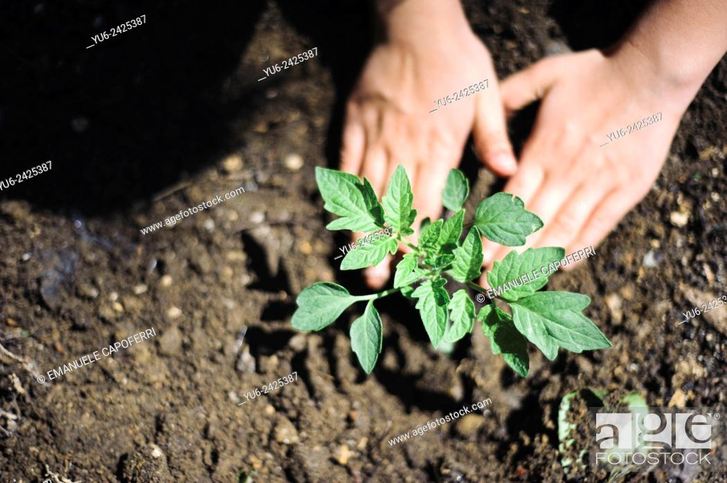 Stock Photo: Closeup of hands of children while transplanting vegetable seedlings, preparation of the garden home.