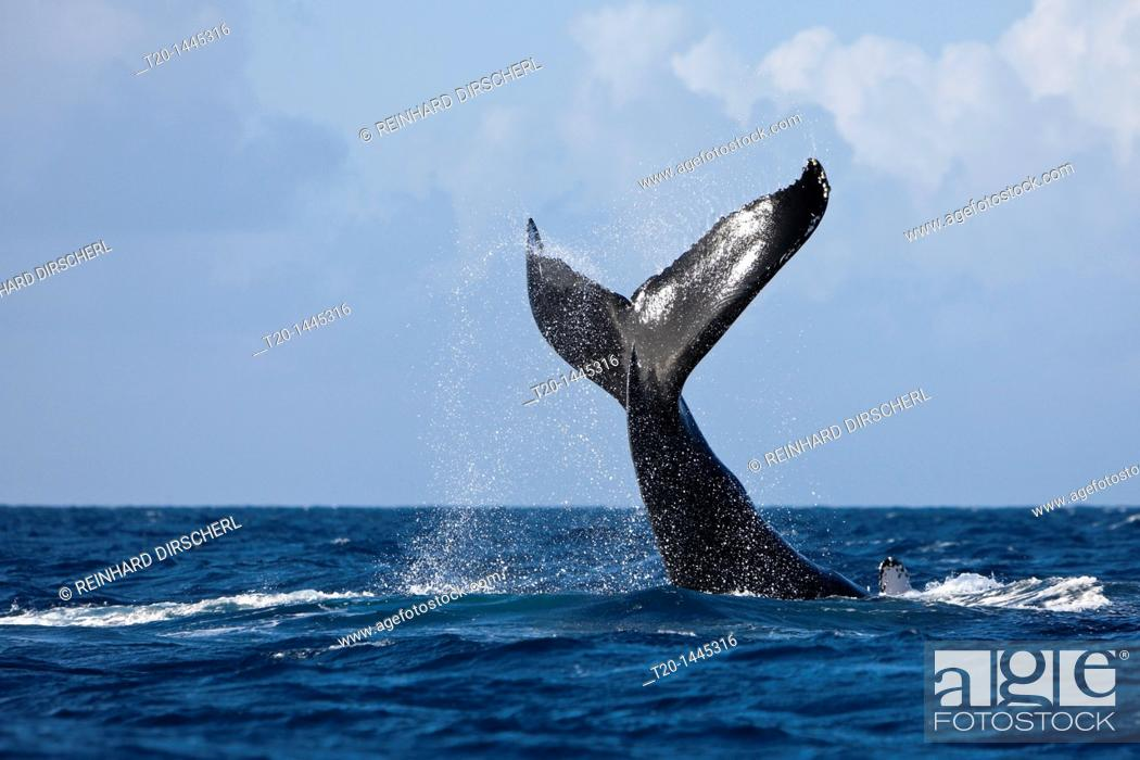 Stock Photo: Fluke of Humpback Whale, Megaptera novaeangliae, Silver Bank, Atlantic Ocean, Dominican Republic.