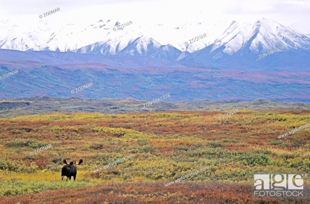 Stock Photo: Elchschaufler in der Tundra vor der Alaska-Bergkette - (Alaska-Elch) / Bull Moose standing in the tundra in front of the Alaska-Range - (Alaska Moose) / Alces.