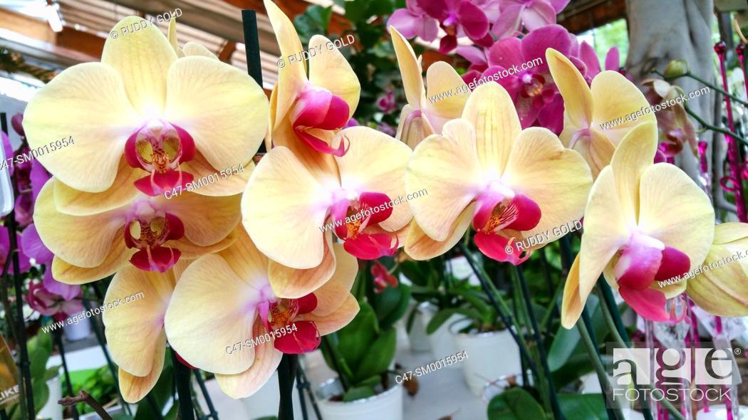 Stock Photo: Orchid. Phalenopsis hybrida. Garden center, Mataro, Barcelona, Spain.