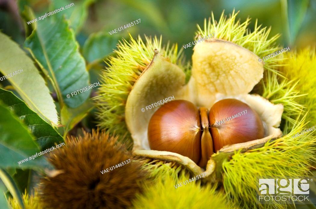 Stock Photo: Chestnut.