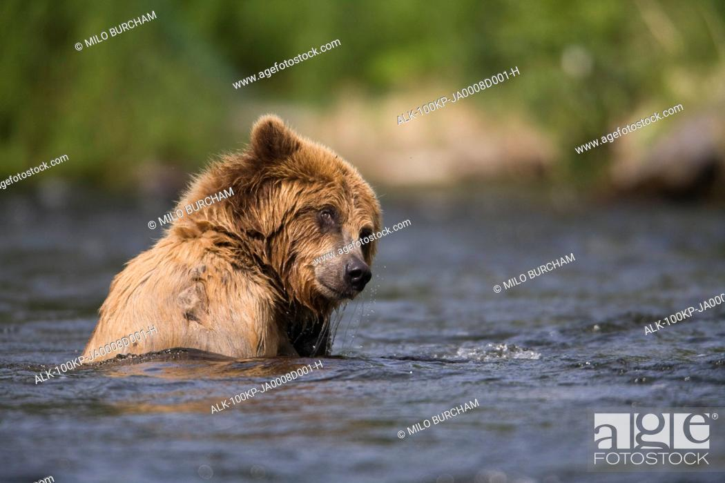 Stock Photo: View of Brown bear swimming in the Russian River, Kenai Peninsula, Southcentral Alaska, Chugach National Forest, Summer.