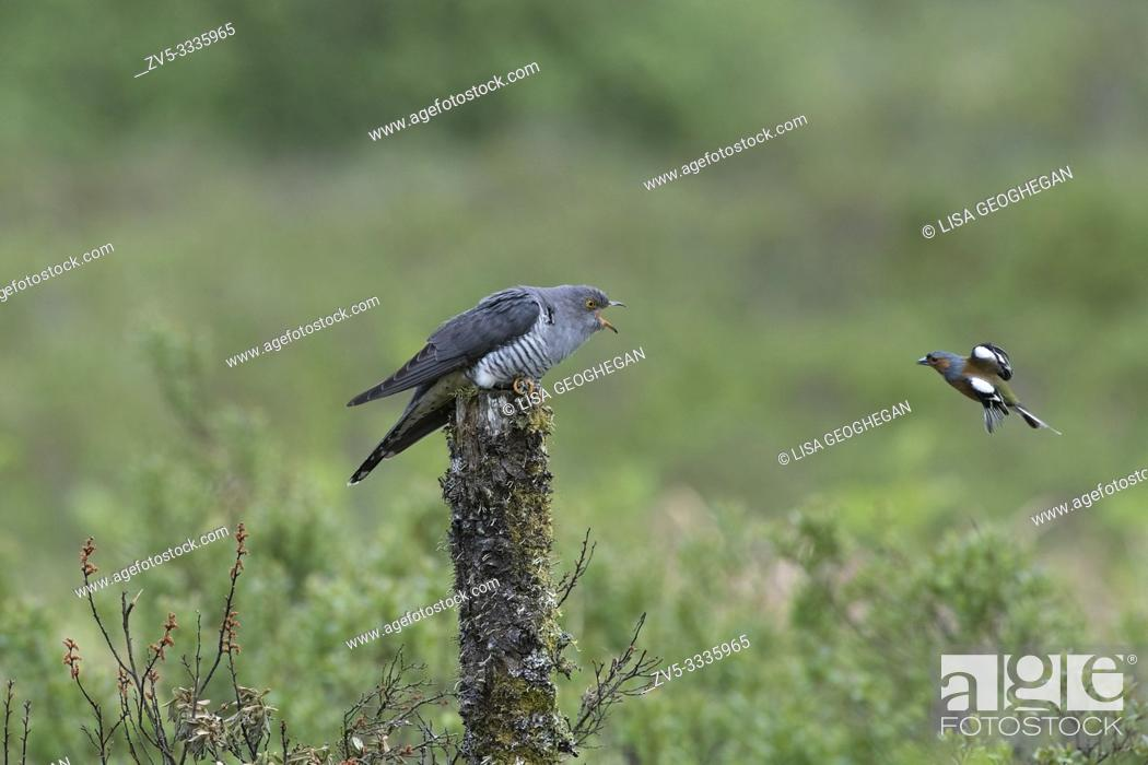 Stock Photo: Chaffinch-Fringilla coelebs defends it's nesting site from male Cuckoo-Cuculus canorus.