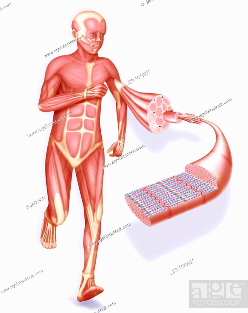 MUSCLE, DRAWING Muscle and muscular system. Representation of an ...