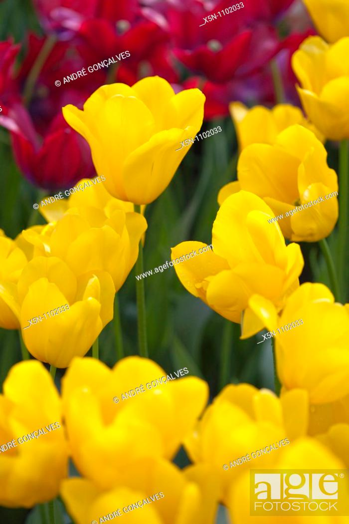Stock Photo: Yellow and Red Tulip Fields, Netherlands.