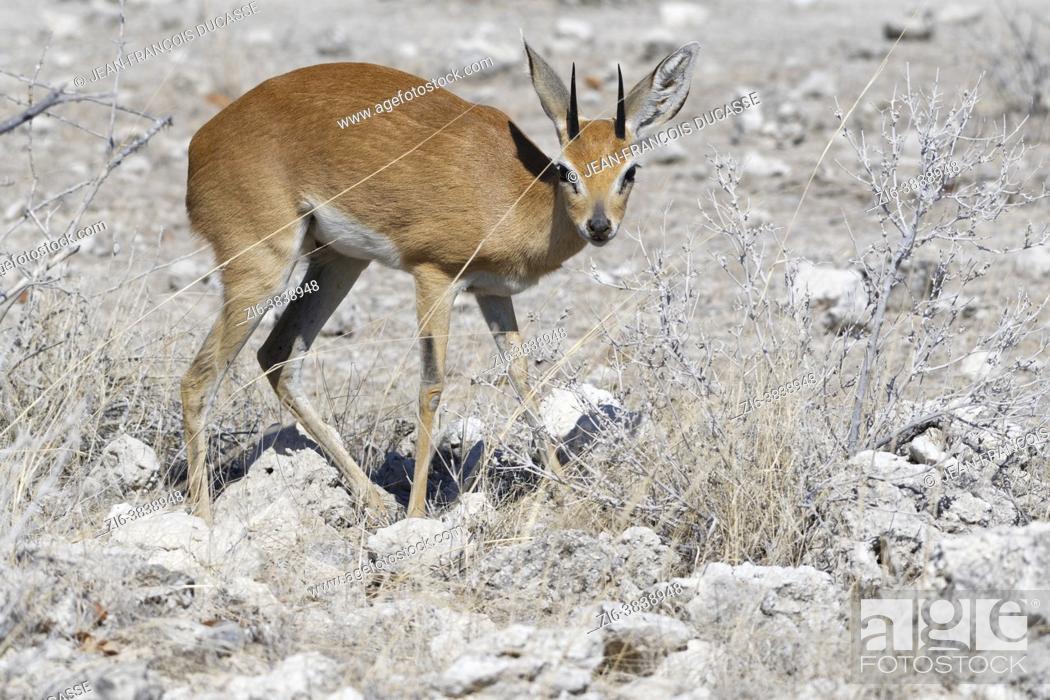 Stock Photo: Steenbok (Raphicerus campestris), adult male foraging, Etosha National Park, Namibia, Africa.